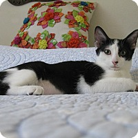 Domestic Shorthair Kitten for adoption in Brea, California - BEI BEI DOT