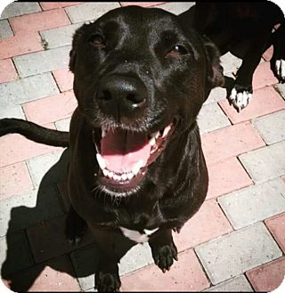 Labrador Retriever Mix Dog for adoption in Seattle, Washington - Harper