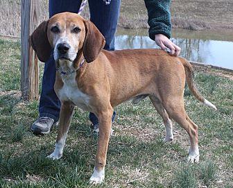Mountain Cur/Hound (Unknown Type) Mix Dog for adoption in Staunton, Virginia - Rusty