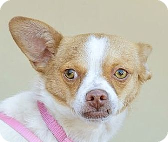 Fox Terrier (Toy)/Chihuahua Mix Dog for adoption in San Marcos, California - Billy