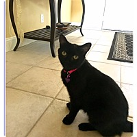 Adopt A Pet :: Ms. Mittens (polydachtyl) - Sterling Hgts, MI