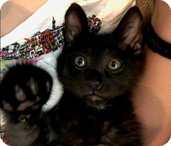 Domestic Shorthair Kitten for adoption in Houston, Texas - Gatsby