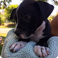 Adopt A Pet :: Baby Outlaw, A pup w/ courage. - Corona, CA