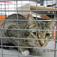 Domestic Shorthair/Domestic Shorthair Mix Cat for adoption in Pasco, Washington - Mori