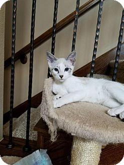 Domestic Shorthair Kitten for adoption in ROSENBERG, Texas - Phoenix