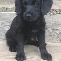 Poodle (Miniature)/Shepherd (Unknown Type) Mix Dog for adoption in Brandon, South Dakota - Harley