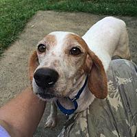 Beagle Mix Dog for adoption in Asheville, North Carolina - Buffy