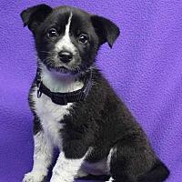 Adopt A Pet :: Olena - Westminster, CO