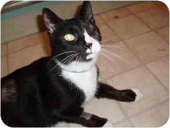Domestic Shorthair Cat for adoption in Hamburg, New York - Big Cody