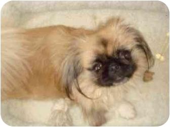 Pekingese Dog for adoption in Virginia Beach, Virginia - Lilly Faith Adoption Pending