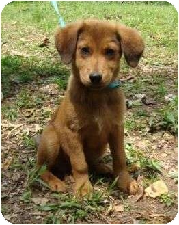 Golden Retriever/Shepherd (Unknown Type) Mix Puppy for adoption in Staunton, Virginia - Mighty Mouse