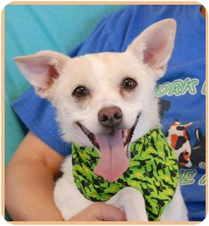 Chihuahua Mix Dog for adoption in Las Vegas, Nevada - Izzy
