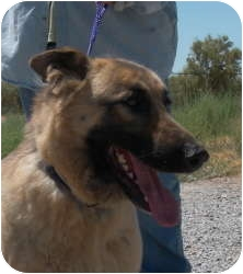German Shepherd Dog Dog for adoption in Las Vegas, Nevada - Genesis