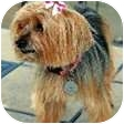 Yorkie, Yorkshire Terrier Dog for adoption in Greensboro, North Carolina - Emma