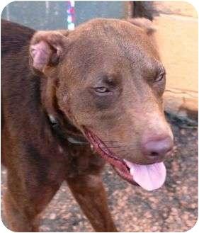 Labrador Retriever/Pit Bull Terrier Mix Dog for adoption in McDonough, Georgia - Rusty