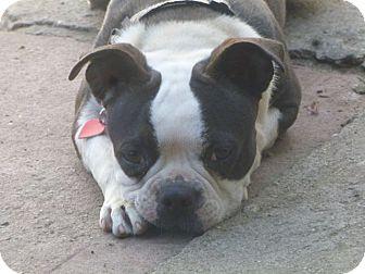 Boston Terrier Dog for adoption in Los Angeles, California - Minnie Minx