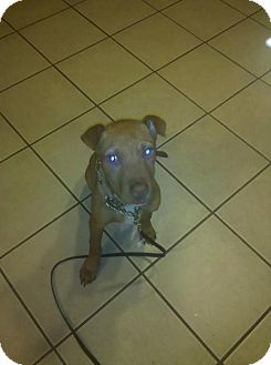 American Pit Bull Terrier/American Staffordshire Terrier Mix Puppy for adoption in Roaring Spring, Pennsylvania - Lootah