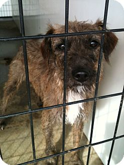 Cairn Terrier Mix Dog for adoption in Yuba City, California - 9/19 Unnamed