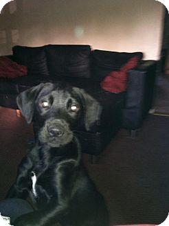 Labrador Retriever Mix Puppy for adoption in Shirley, New York - DEAN