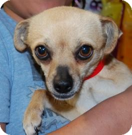 Chihuahua Mix Dog for adoption in Brooklyn, New York - Janice