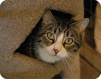 Domestic Shorthair Cat for adoption in Winchendon, Massachusetts - Kevin