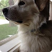 Adopt A Pet :: Buzi - Minneapolis, MN