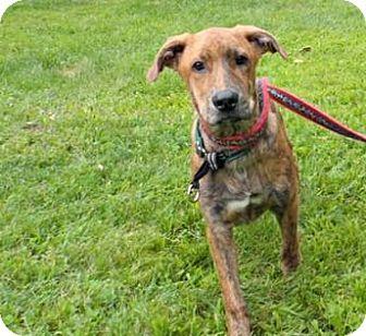 Labrador Retriever/Pit Bull Terrier Mix Dog for adoption in Mt. Pleasant, Michigan - David Beckham
