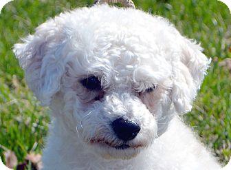 Bichon Frise Dog for adoption in Bridgeton, Missouri - Harry-Adoption pending