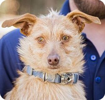 Rat Terrier/Chihuahua Mix Dog for adoption in Truckee, California - Hot Dog