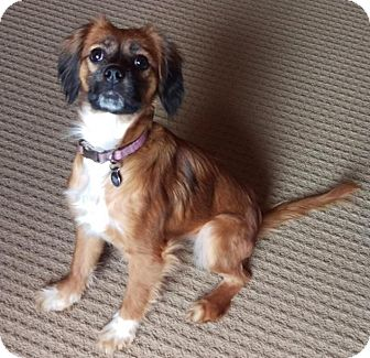 Cavalier King Charles Spaniel Mix Puppy for adoption in Wooster, Ohio - Jazzy