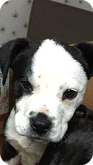 American Bulldog/Labrador Retriever Mix Puppy for adoption in Ellaville, Georgia - Penelope (Adoption pending)