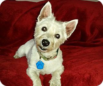 Westie, West Highland White Terrier Dog for adoption in Omaha, Nebraska - Sadie Mae-Pending Adoption