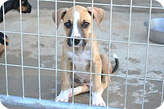 Boxer/Labrador Retriever Mix Puppy for adoption in Pikeville, Maryland - Floyd