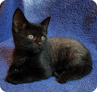 Domestic Shorthair Kitten for adoption in Winston-Salem, North Carolina - Daisy