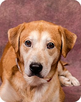 Labrador Retriever/Golden Retriever Mix Dog for adoption in Cincinnati, Ohio - Duke