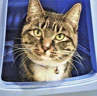 Domestic Mediumhair Cat for adoption in Diamondville, Wyoming - Gizmo