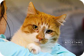 American Bobtail Cat for adoption in Edwardsville, Illinois - Bullwinkle