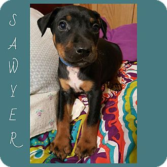 Boston Terrier/Doberman Pinscher Mix Puppy for adoption in Oxford, Connecticut - Sawyer
