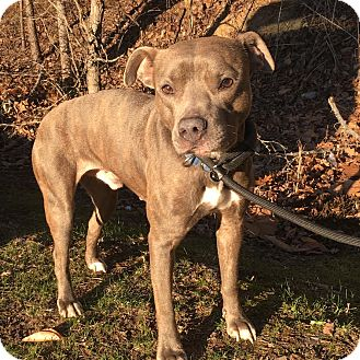Pit Bull Terrier/Staffordshire Bull Terrier Mix Dog for adoption in Knoxville, Tennessee - Ryder