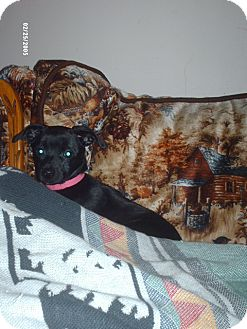 Chihuahua/Terrier (Unknown Type, Medium) Mix Puppy for adoption in PRINCETON, Kentucky - NATALIE