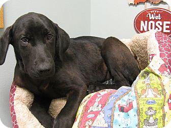Labrador Retriever Mix Puppy for adoption in Groton, Massachusetts - Bear