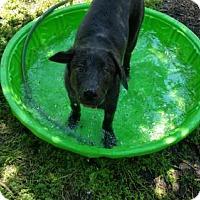 Adopt A Pet :: Opie - Brooklyn Center, MN