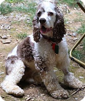 Cocker Spaniel Dog for adoption in Westminster, Maryland - Coco