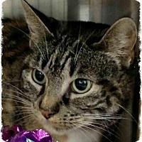 Adopt A Pet :: Sekhmet - Pueblo West, CO