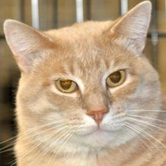 Domestic Shorthair/Domestic Shorthair Mix Cat for adoption in Tilton, Illinois - Clinton
