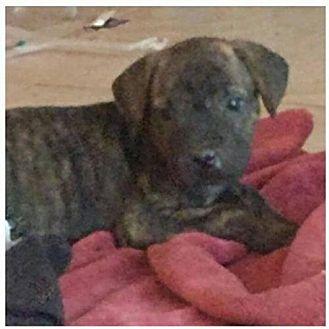 Chow Chow Puppy for adoption in Phoenix, Arizona - Bonnie