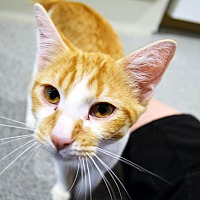Adopt A Pet :: Sebastian - Lincoln, NE