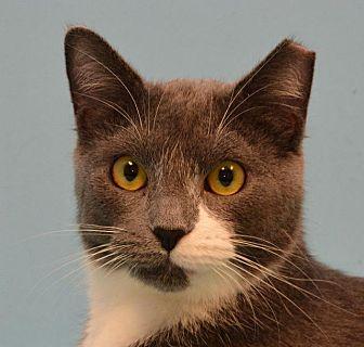 Domestic Shorthair Cat for adoption in Cincinnati, Ohio - Silverleaf