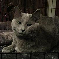Adopt A Pet :: Gray Bear (Russian Blue Mix) - St. Louis, MO