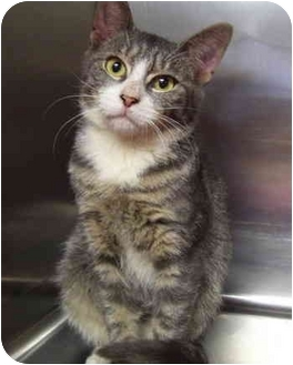 Domestic Shorthair Cat for adoption in Bloomingdale, New Jersey - Steve-O